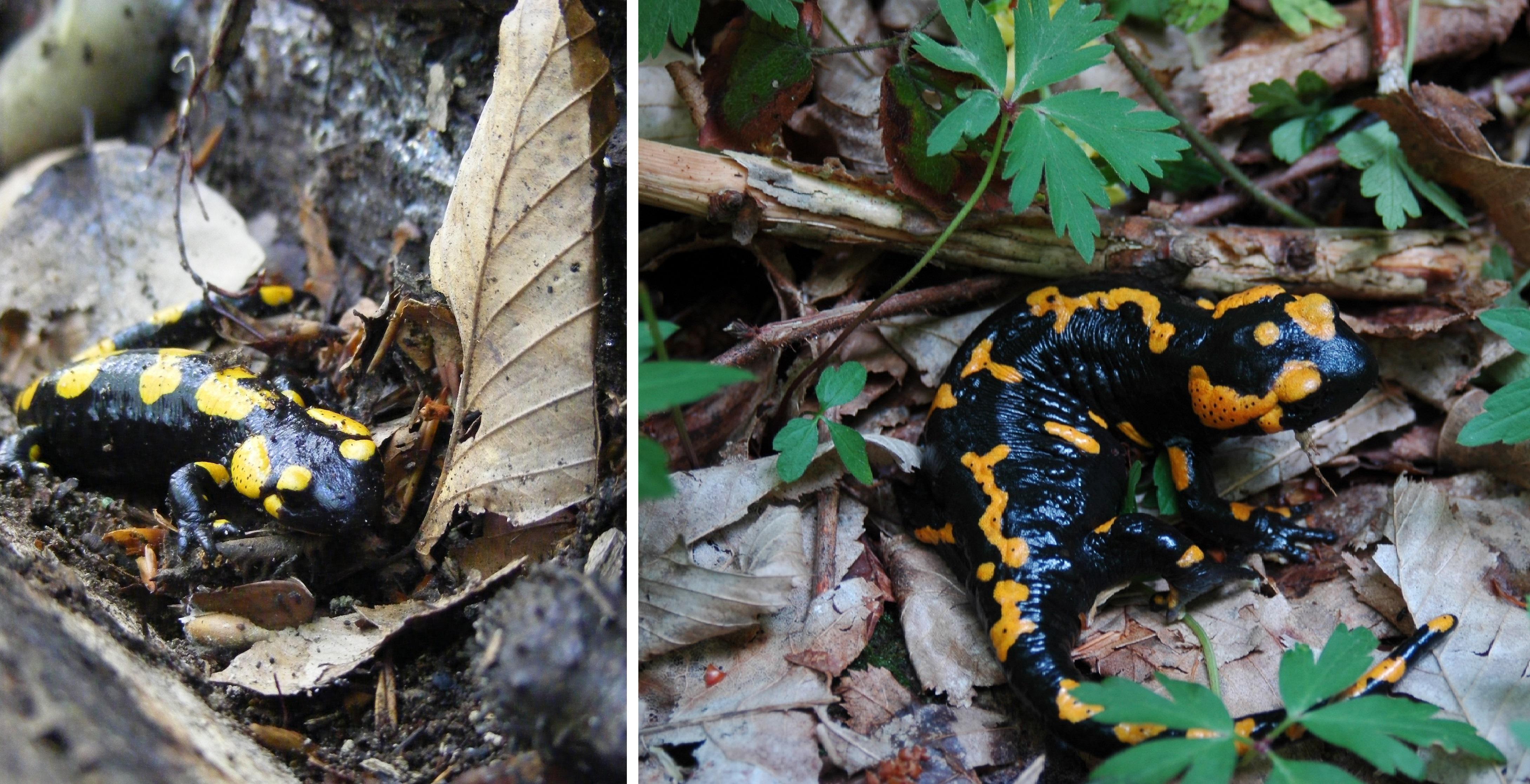 Fekete forrásvíz, fehér szalamandra - Diversas diversa iuvant