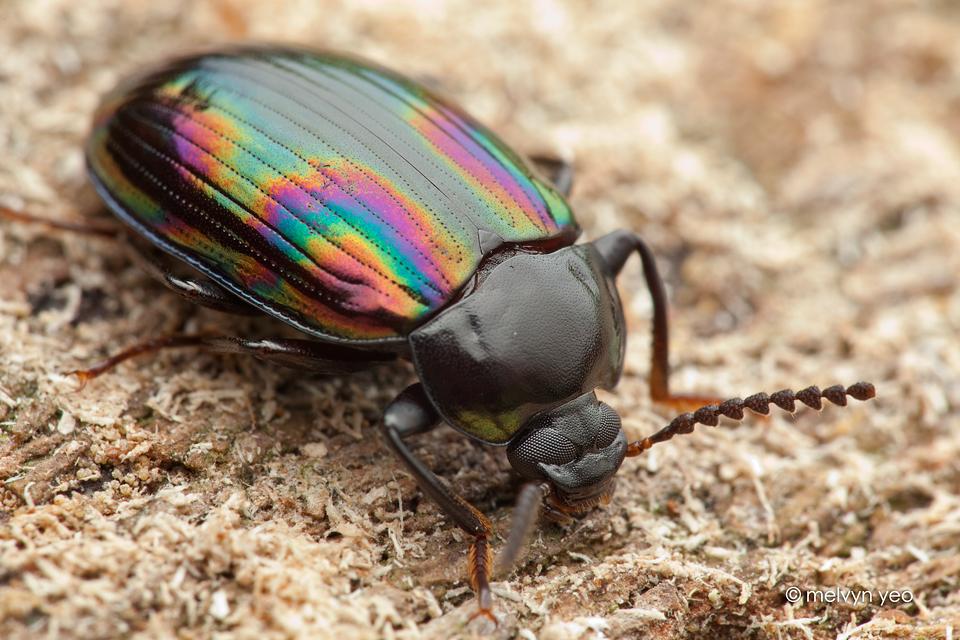 tenebrionidae_darkling_beetle_by_melvynyeo-d6ekpdk.jpg