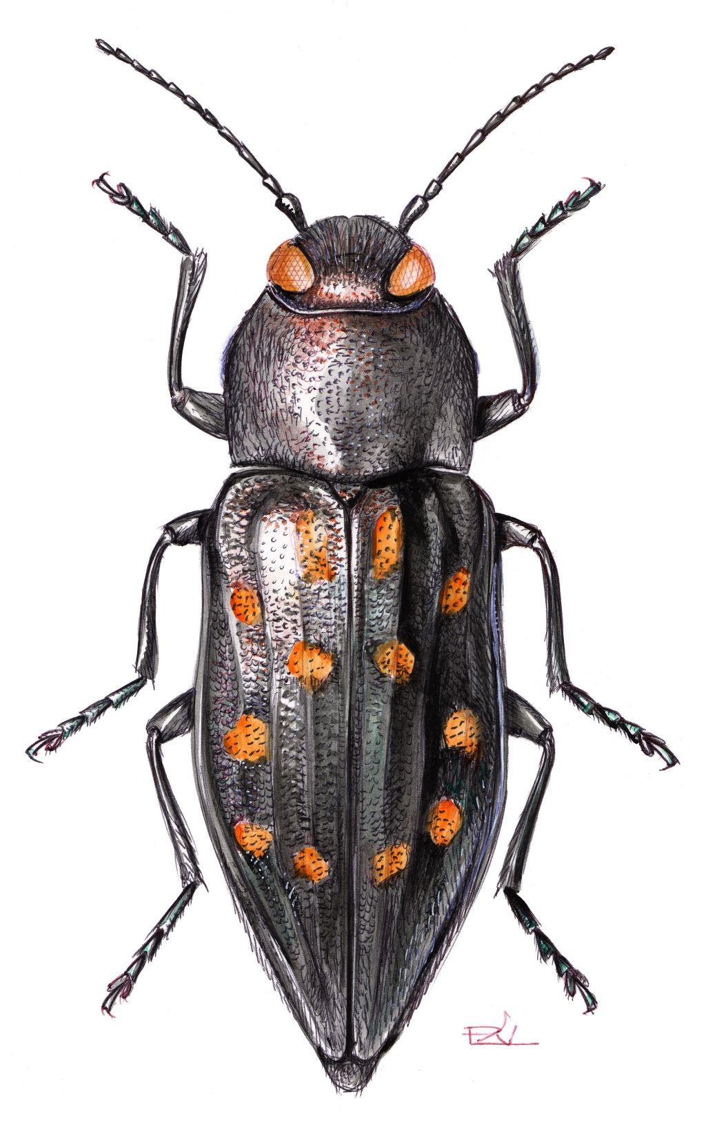 Foltos fürgedíszbogár (Trachypteris picta decastigma)