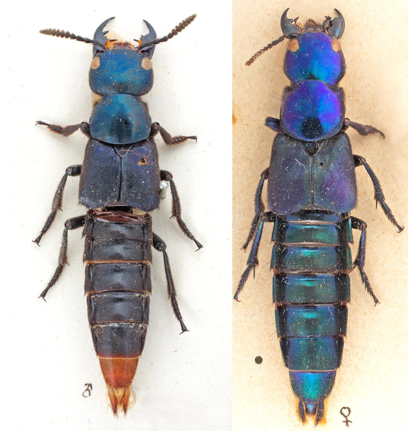 triacrus-dilatus_trigonopselaphus-diplopegus.jpg