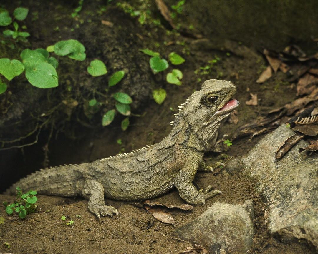 Tuatara – A dinoszauruszok fennmaradt kortársa