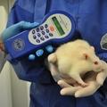Génmódosított kukorica és Roundup® gyomirtó: a hosszú távú állatkísérletek óvatosságra intenek