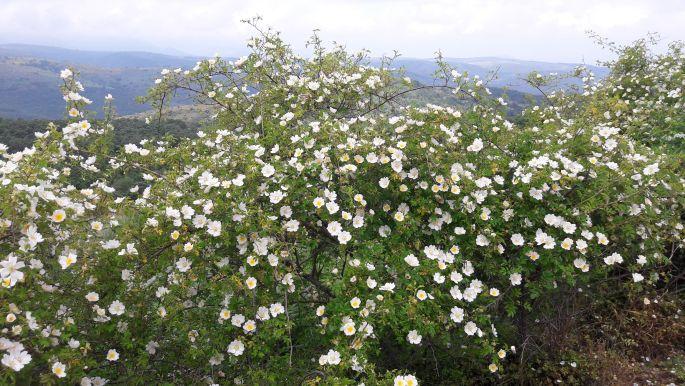 El camino, ... sok szép virággal...