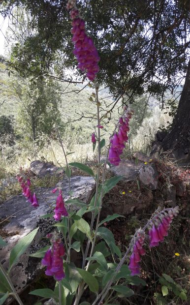 El camino, gyűszűvirág, az egyik kedvencem :-)