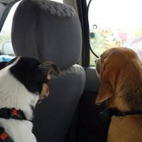 Beagle fajtamentés