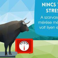 Stresszmentes marhamérés