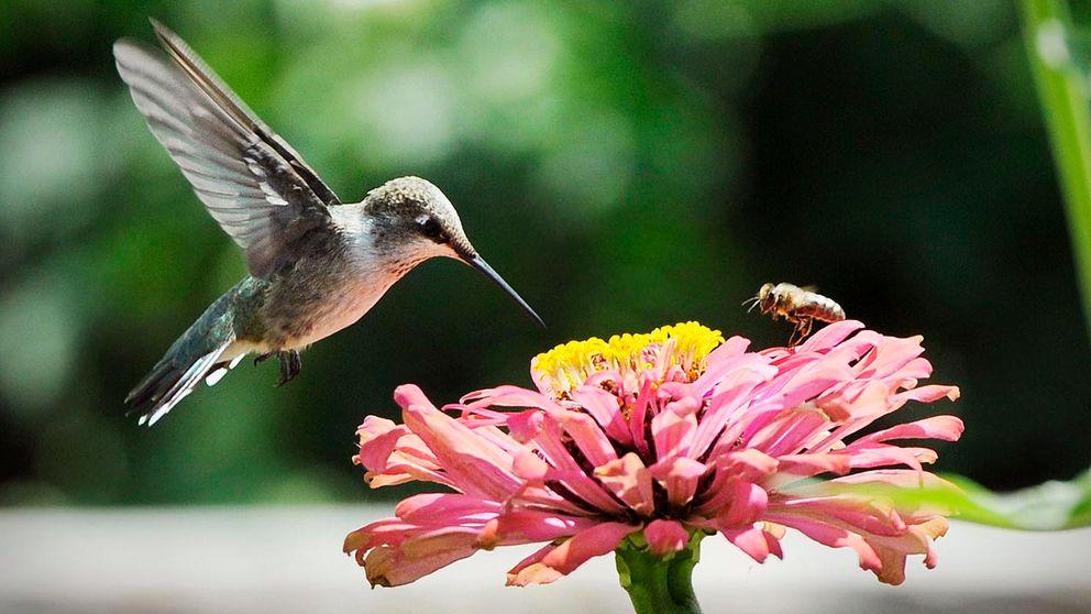 kolibri3-jpg.jpg
