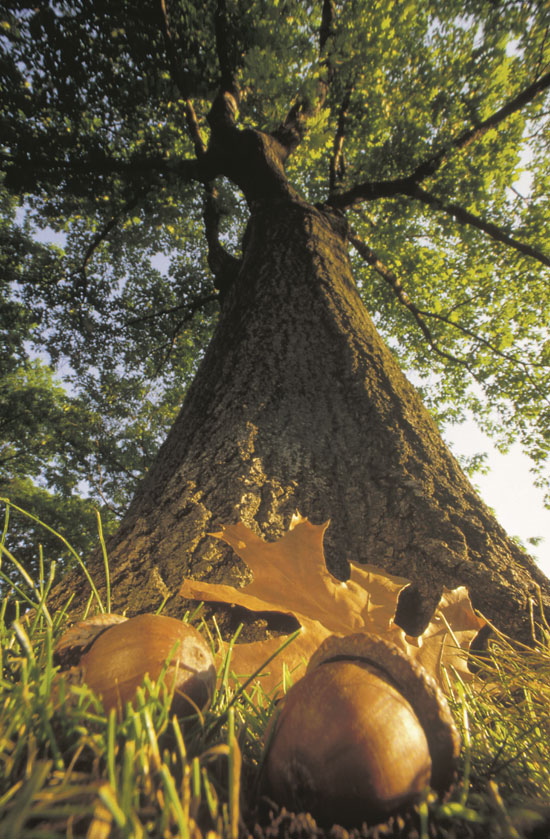 oak-acorns.jpg