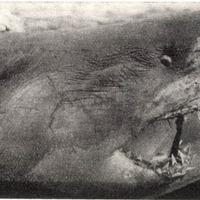 A fiumei cápa