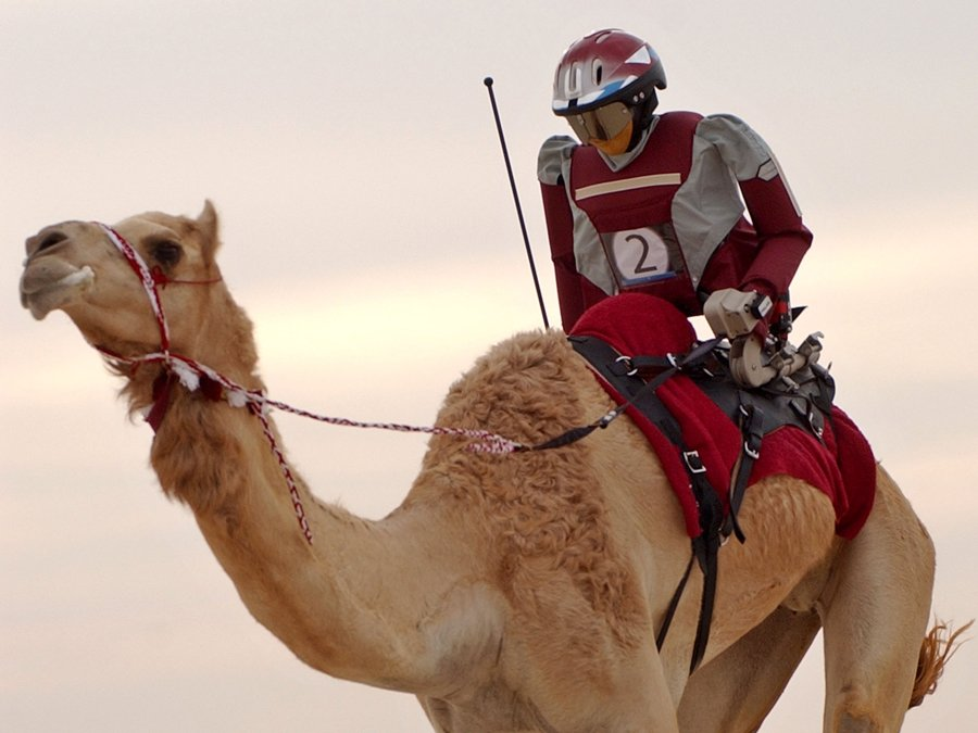 kamel-the-robot-jockey-rides-ghazil-a-qatari-camel-during-a-test-run-at-the-shahaniah-camel-race-track-in-doha-qatar-which-plans-to-phase-out-child-jockeys-who-have-long-been-used-in-cam.jpg