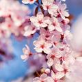 Hiába álmodok életet, szerelmet, cseresznyefát…
