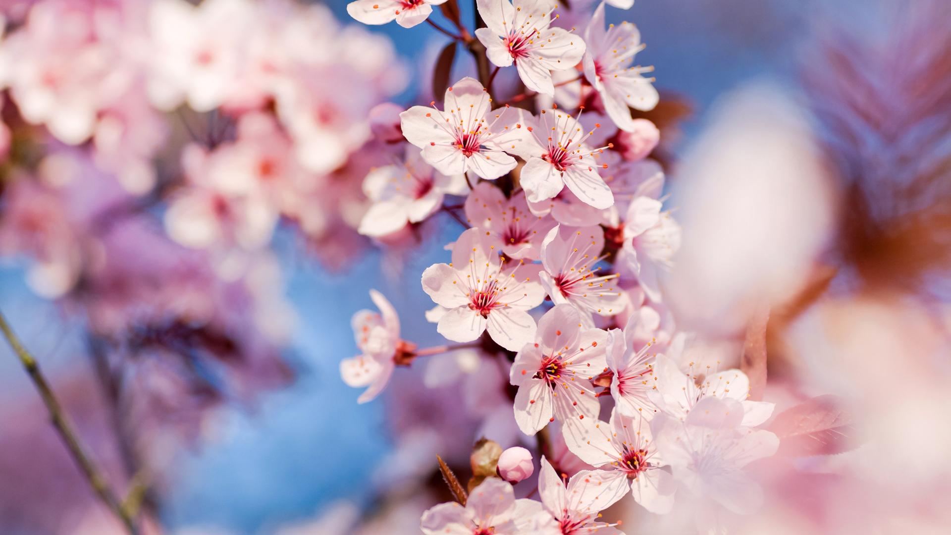 cseresznyevirag.jpg