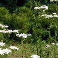 Cickafarkfű - a legjobb bőrápoló növények 8.