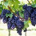 Szőlő szüret - A szőlőről 1.