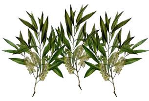 melaleuca_alternifolia_leaf_oil.jpg