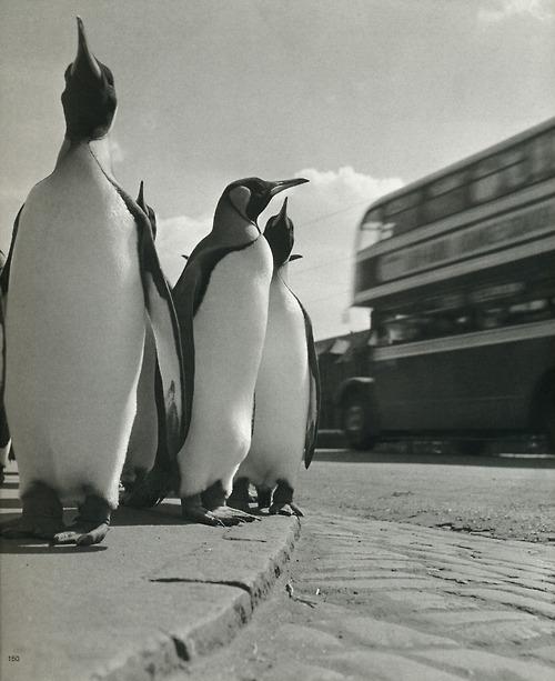 Werner Bischof, pingvinek és az emeletes busz, Edinburgh, Skócia, 1950