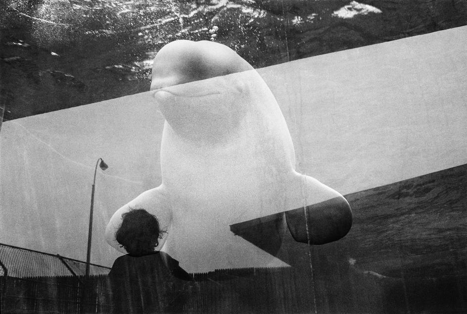Jean Gaumy, The aquarium. Watching a beluga. Coney Island. 1987<br />