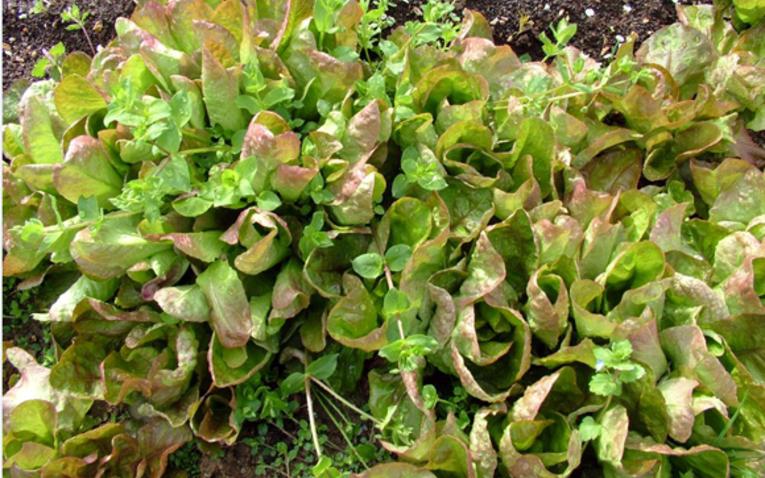 Saláta-fokhagyma-paprika - kisszobányi ágyás ellát egy családot