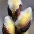 Tavasz, rügyfakadás…