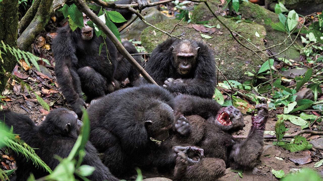 sn-chimpsh.jpg