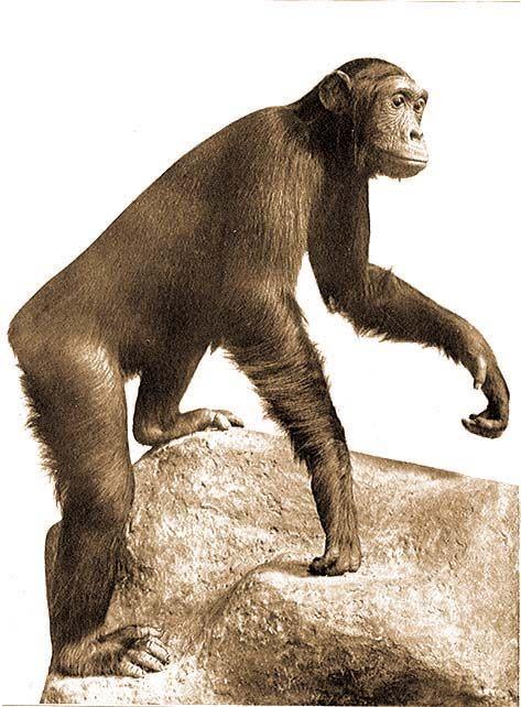 1.. Feketearcú csimpánz. Lőtte a Bugoma őserdőben (Albert Nyanza mellett, Uganda) 1926 márciusában Kittenberger Kálmán. Az állat a Magyar Nemzeti Múzeum tulajdona.