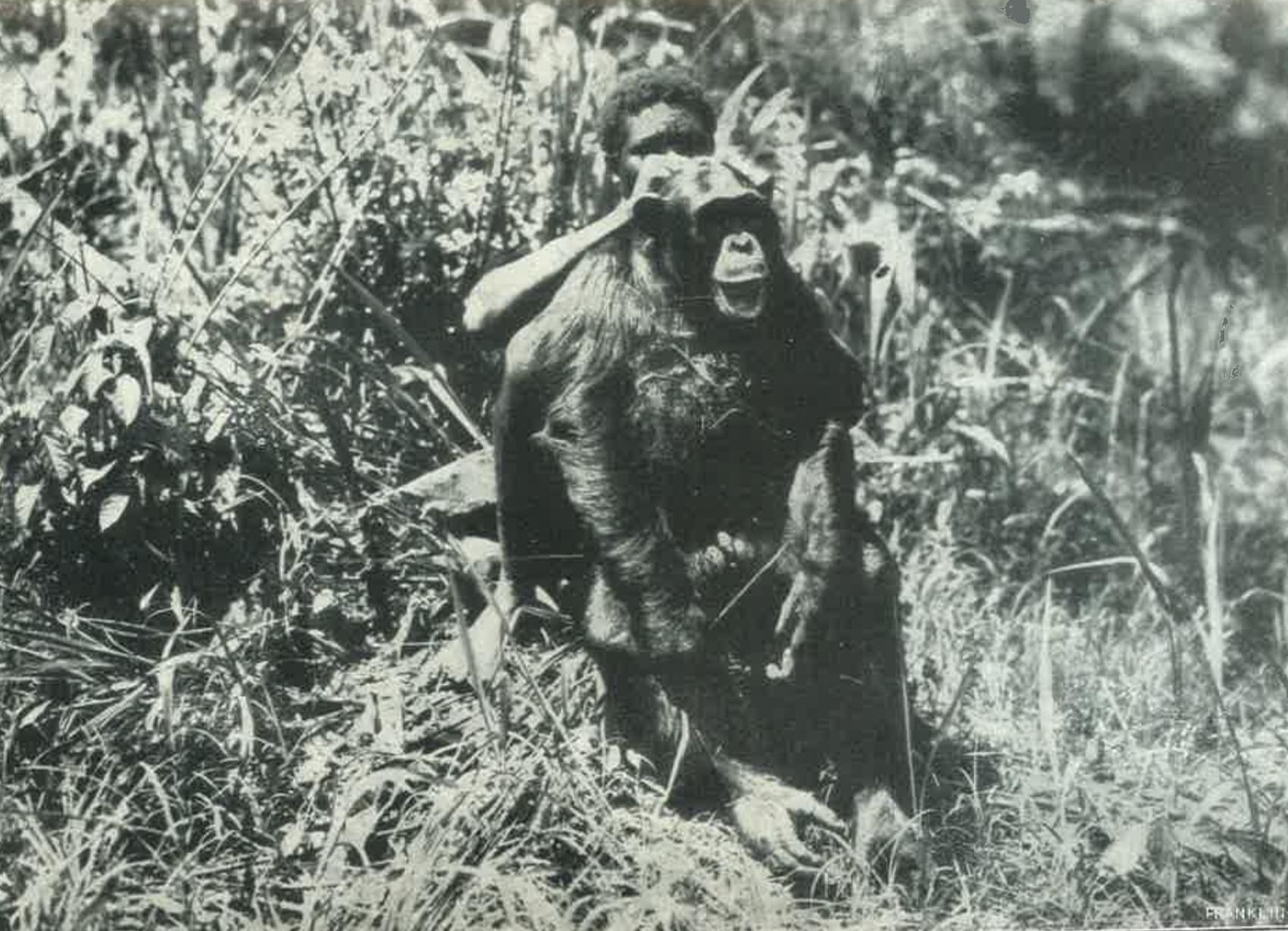2. feketearcu_csimpanz_foto.pdf A Magyar Nemzeti Múzeum számára lőtt kongói feketearcú csimpánz. In. A megváltozott Afrika, [Budapest], Franklin, [1930]. – Törzsgyűjtemény