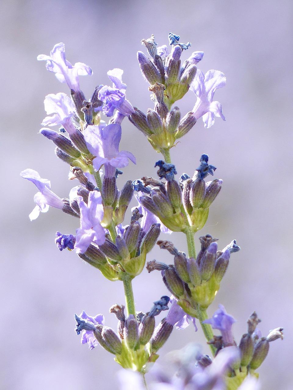 lavender-167756_1280.jpg