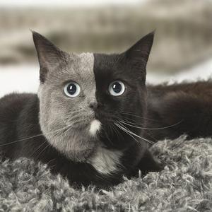 A macska, aki igazán kétszínű