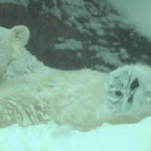 Az ázsiai elefánt találkozása a hóval