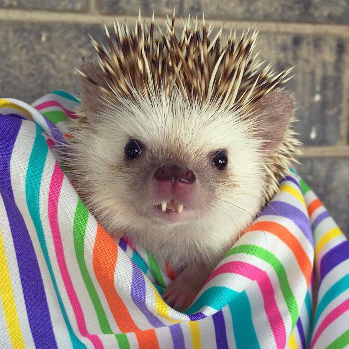 vampire-hedgehog-fangs-hodge-huffington-25.jpg