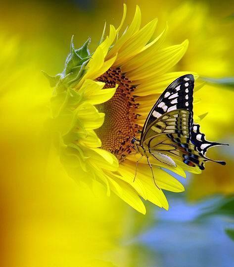 butterfly és napraforgó.jpg