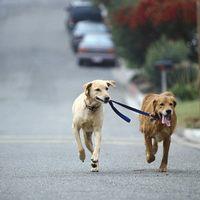 Új kutatás: a közös sétákon kiderül, ki a főnök