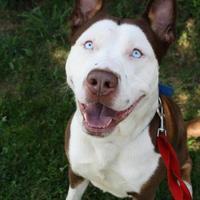 Alusky, taco terrier, corgipoo – érdekes hibrid kutyák