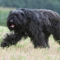 Ritka kutyafajták: Bouvier des Flandres