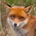 Oltják a rókákat - ebzárlat Budapesten is