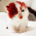 Vörös szakállas cica