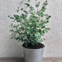 Még mindig az egyik szerelmem az eucalyptus....