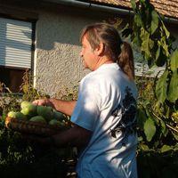 2007-ben bőséges termés a paw-banánfán