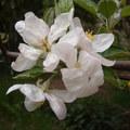 Csillagalma virága