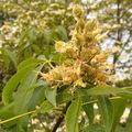 Aesculus flava termései