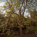 Datolyaszilva tavaszi kezdődő lombozattal