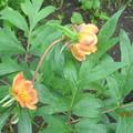 Paeonia delavayi-fás bazsarózsa
