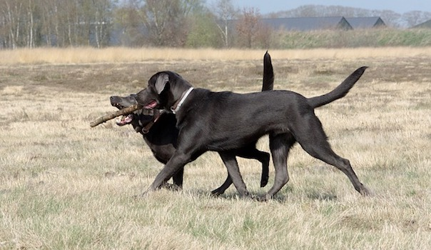 dogs-playing-2239474_640.jpg