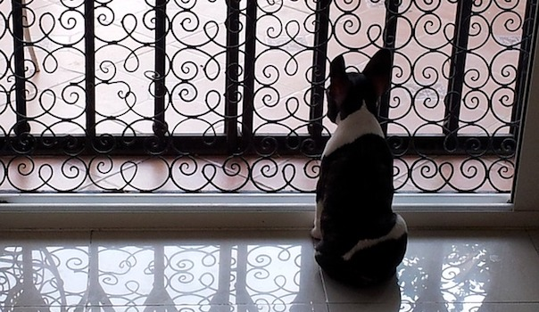 french-bulldog-376589_640.jpg