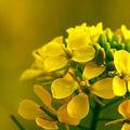 Mustár