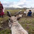 A rénszarvas pásztorok – bepillantás egy nomád törzs életébe