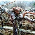 Nem fenyeget éhínség az áprilisi fagyok miatt