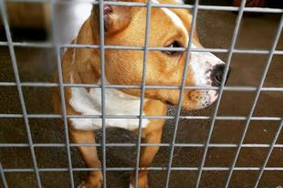 2012 augusztus 1-jétől TILOS a kutyák fülének csonkítása! #fogadjörökbe #