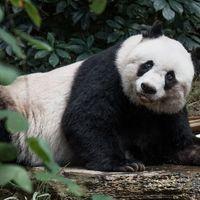 Elaltatták a világ legöregebb fogságban tartott pandáját Hongkongban