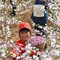 Barackvirág gyűjtés Kína Shandong tartományában
